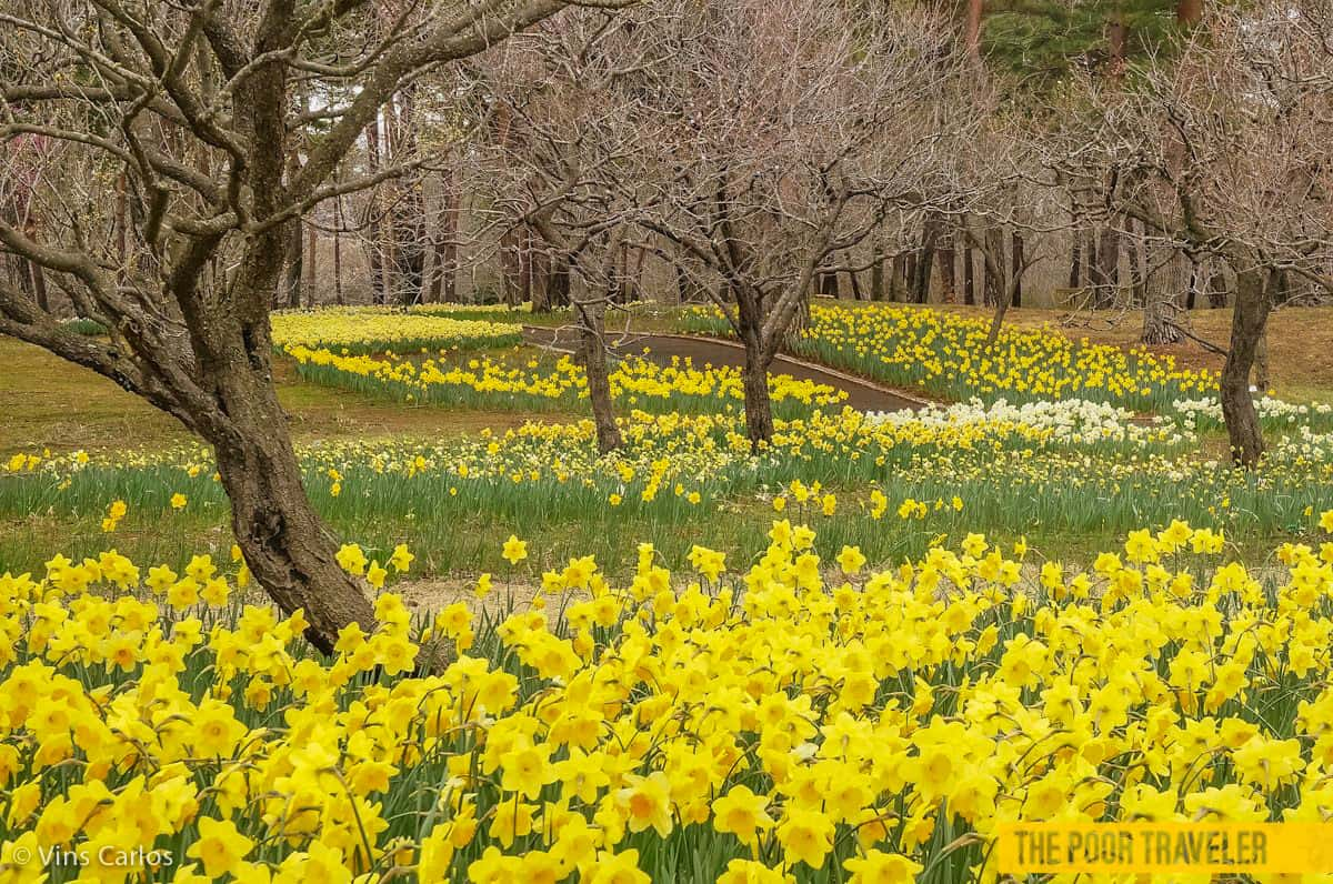 Daffodils-in-Japan
