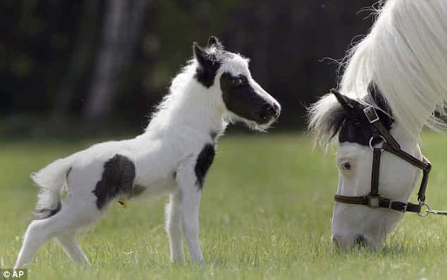 Tiniest Horse in the World