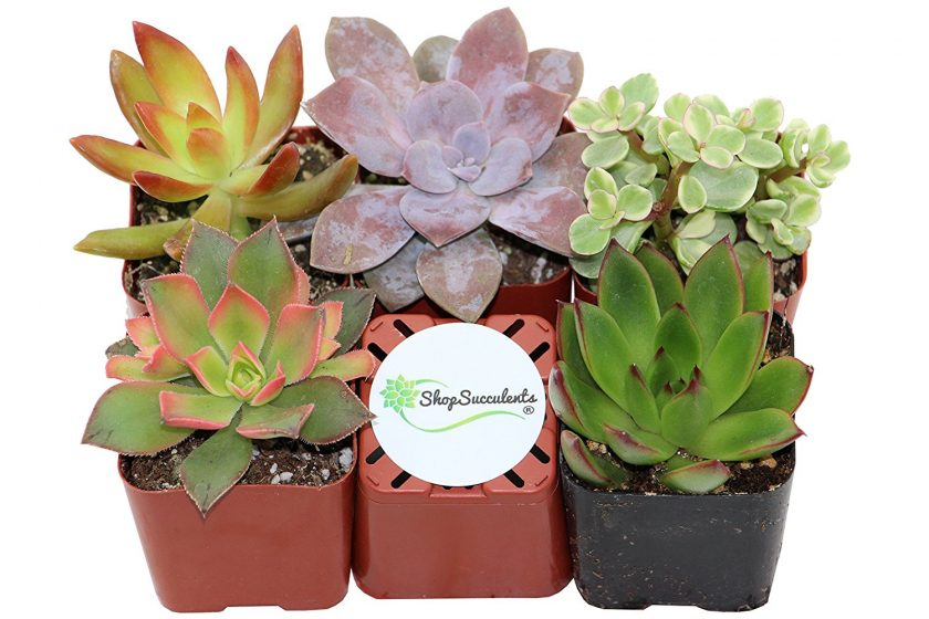 Succulent Packs For Succulent Gardeners