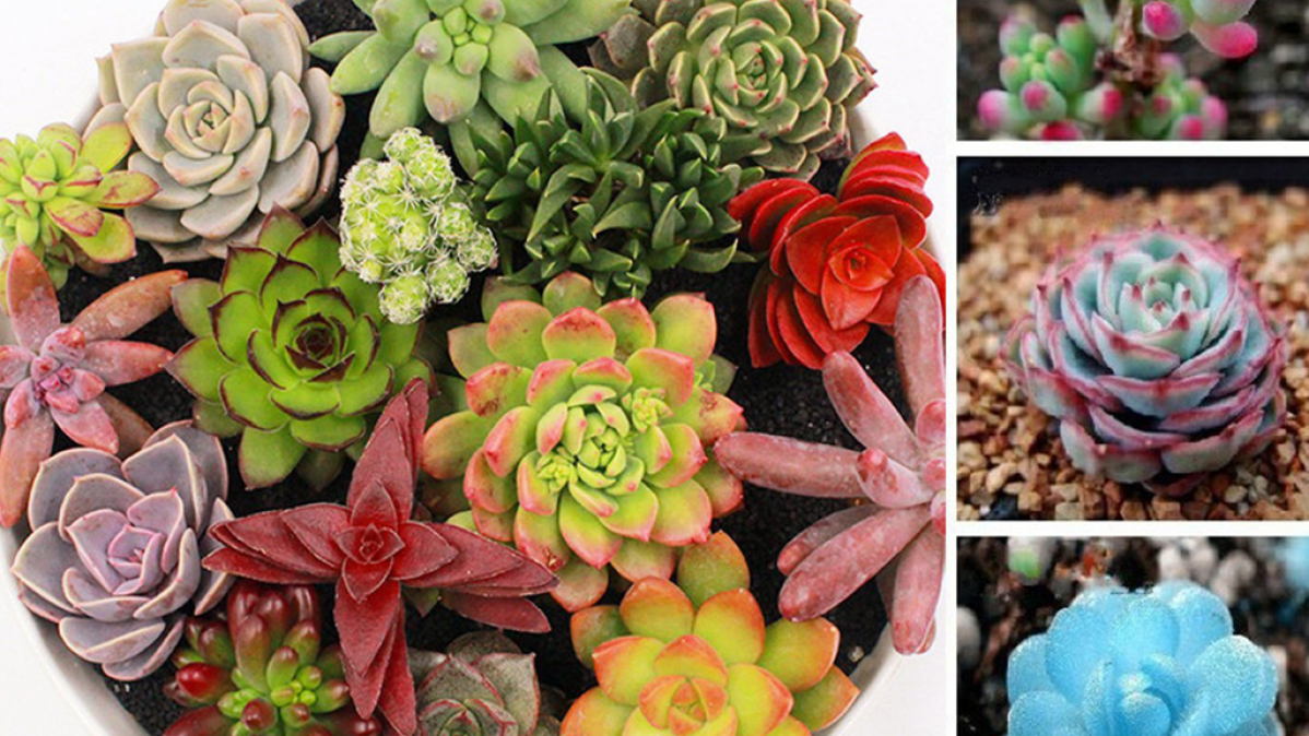 Awesome Succulents For Collectors and Gardeners