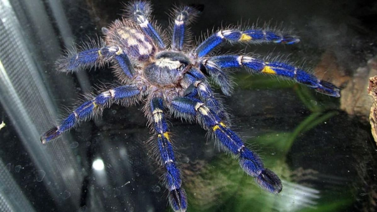 Beautiful Gooty Sapphire Tree Spider